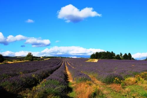 lavender.blog2
