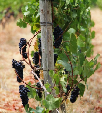 The monks' grapes were looking good.,