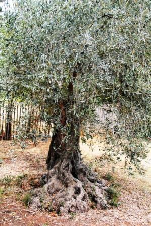 Island olive tree