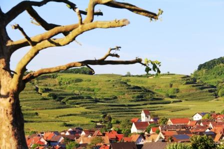 Vineyards in Baden.