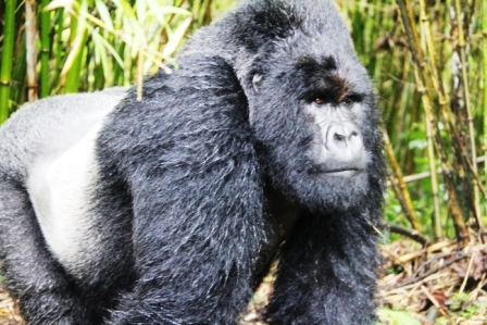 gorilla.2b