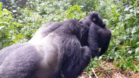 gorilla.5b