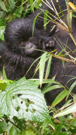 gorilla.6b