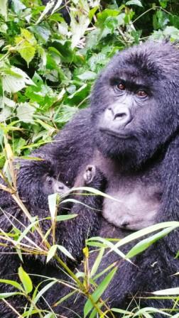 gorilla.7b