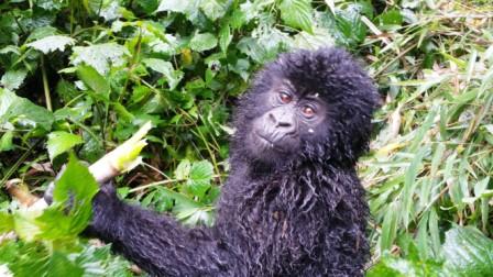 gorilla.9b
