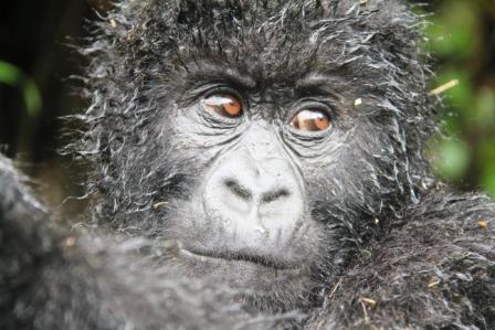 gorilla.b1