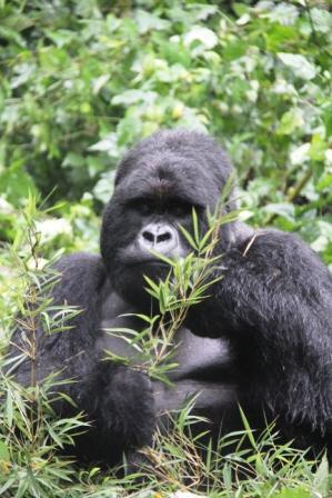 gorilla.b3
