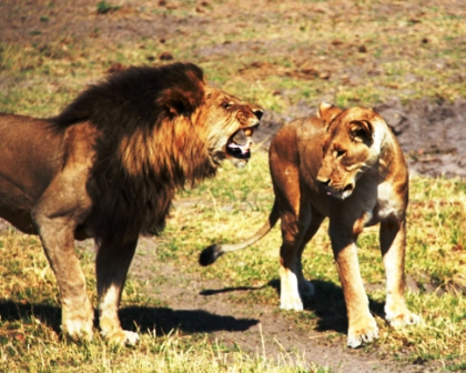 safari.24