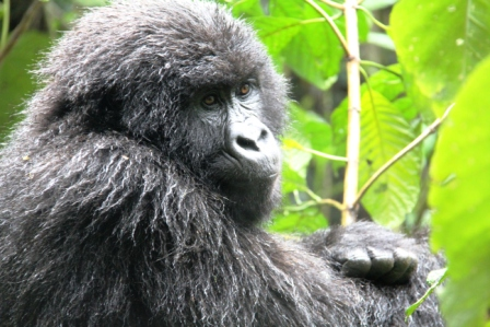 """For more, see previous post, """"Gorillas in our Midst."""""""