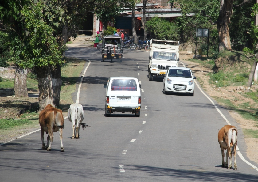 cows.5