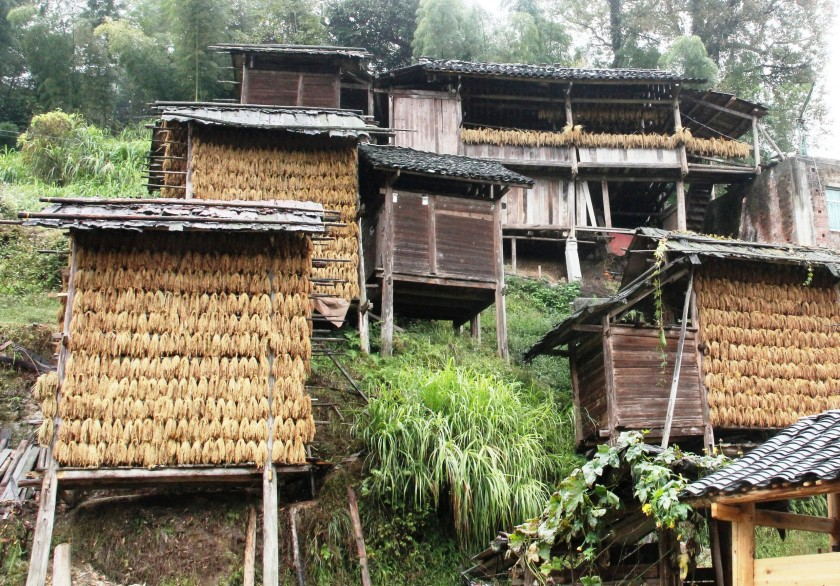 Drying rice hangs from many houses in Huanggang.