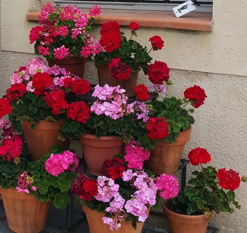 It was a good summer for geraniums.